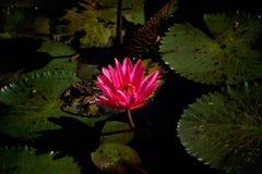 La belleza del loto Foto de archivo libre de regalías