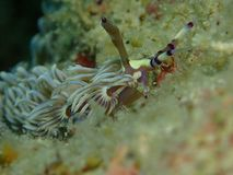 La belleza del mundo subacuático en Sabah, Borneo imágenes de archivo libres de regalías