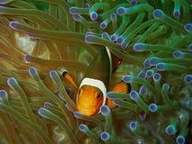 La belleza del mundo subacuático en Sabah, Borneo fotos de archivo libres de regalías