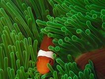 La belleza del mundo subacuático en Sabah, Borneo imagen de archivo libre de regalías