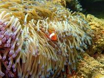 La belleza del mundo subacuático en Sabah, Borneo imagen de archivo