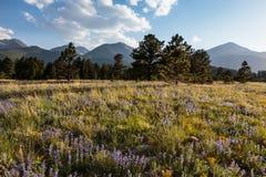 La belleza escénica del Colorado Rocky Mountains - Wildflowers Foto de archivo libre de regalías