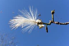 La belleza exótica y rara de la flor blanca rodeada por las abejas imágenes de archivo libres de regalías