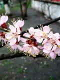 La belleza inmaculada de las flores de la primavera Rama floreciente del manzano en primavera con el fondo suave imagenes de archivo