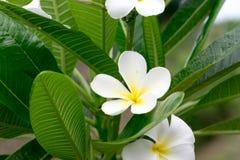 La bellezza dei fiori bianchi di Champa Immagine Stock Libera da Diritti