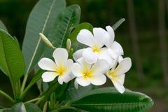 La bellezza dei fiori bianchi di Champa Immagini Stock Libere da Diritti