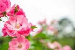 La bellezza dei fiori nel giardino Fotografia Stock Libera da Diritti