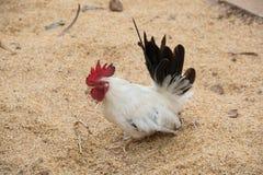 La bellezza dei polli Immagine Stock Libera da Diritti