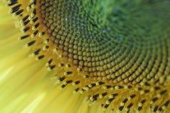 La bellezza del girasole Immagine Stock