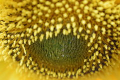 La bellezza del girasole Fotografie Stock Libere da Diritti