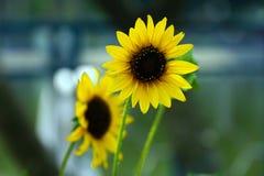 La bellezza del girasole giallo! fotografie stock
