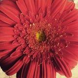 La bellezza di un fiore Fotografie Stock