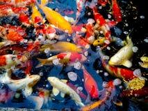 La bellezza ed il colore del koi pescano Fotografie Stock