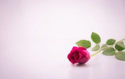 La bellezza rosa-rosso è aumentato con lo spazio bianco del fondo Fotografie Stock Libere da Diritti