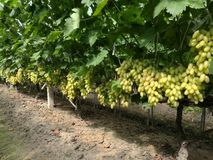 La bellezza si riferisce all'uva Immagini Stock