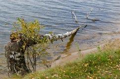 La betulla è caduto nell'acqua Immagine Stock