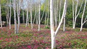 La betulla è un albero di legno duro deciduo sottile-leaved del genere› tjÊŠlÉ™/di betulla/ˈbÉ immagine stock