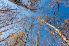 La betulla bianca completa gli alberi di betulla contro del cielo Immagini Stock Libere da Diritti