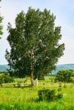 La betulla d'argento alta Fotografia Stock