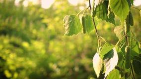 La betulla di autunno va su un vento stock footage