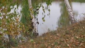 La betulla dorata lascia la caduta su ghiaccio un giorno fresco di autunno archivi video