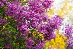 La BG s'embranchent avec les fleurs pourpres lilas de ressort photo stock