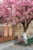 La bicicletta con un canestro sta vicino a sakura di fioritura Immagini Stock