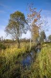 La Bielorussia: natura di autunno del bordo paludoso Fotografie Stock