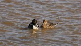 La bienveillance du canard de canard pilet du nord photo stock