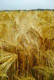 La bio agriculture, blé dur jaune mûr plante l'élevage sur le champ, au sujet de Image stock