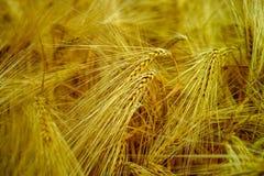 La bio agriculture, blé dur jaune mûr plante l'élevage sur le champ, au sujet de Photos libres de droits