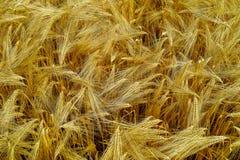 La bio agriculture, blé dur jaune mûr plante l'élevage sur le champ, au sujet de Photos stock