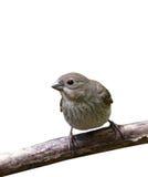 La birdie au-dessus du blanc Image libre de droits