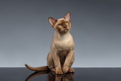 La Birmanie Cat Sits et recherche sur le gris Photos stock