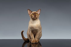 La Birmanie Cat Sits et regard in camera sur le gris Image stock