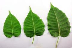 La BO poussent des feuilles Photographie stock