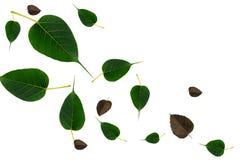 La BO poussent des feuilles sur le fond blanc Image stock