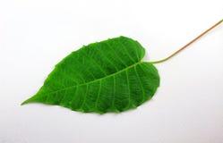 La BO poussent des feuilles sur le fond blanc Photographie stock