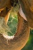 La boca del elefante africano Imagen de archivo libre de regalías