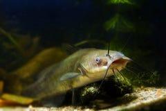 La boca grande de un siluro de canal despredador de agua dulce peligroso juvenil, punctatus del Ictalurus vive en biotopo del dep fotografía de archivo libre de regalías
