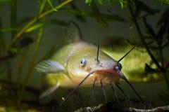 La boca y las barbillas grandes del siluro de canal despredador de agua dulce invasor peligroso de los pescados, punctatus del Ic imagenes de archivo