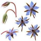 La borraja florece (el starflower) Foto de archivo libre de regalías