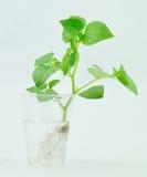 La botánica de la planta Foto de archivo