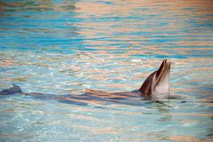 La bottiglia ha cappottato il delfino Fotografia Stock