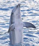 La bottiglia ha cappottato il delfino fotografie stock
