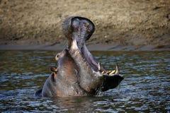 La bouche de l'hippopotame s'ouvre en rivière tirée dans le masai Mara Kenya Africa Photo stock