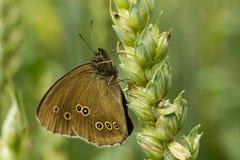 La boucle - hyperantus d'Aphantopus photos stock