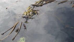 La boue et les algues de mer sur l'eau calme de l'océan pacifique sur le fond marchent en Alaska banque de vidéos