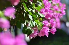 La bouganvillée de bouganvillée est un arbuste de enroulement à feuilles persistantes Image stock