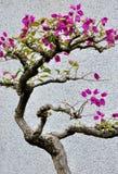 La bouganvillée fleurit des bonsaïs Image libre de droits
